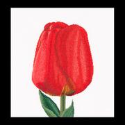 """Набор для вышивания крестом Thea Gouverneur """"Красный тюльпан Дарвинов гибрид"""""""