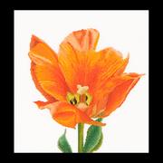 """Набор для вышивания крестом Thea Gouverneur """"Оранжевый тюльпан"""""""